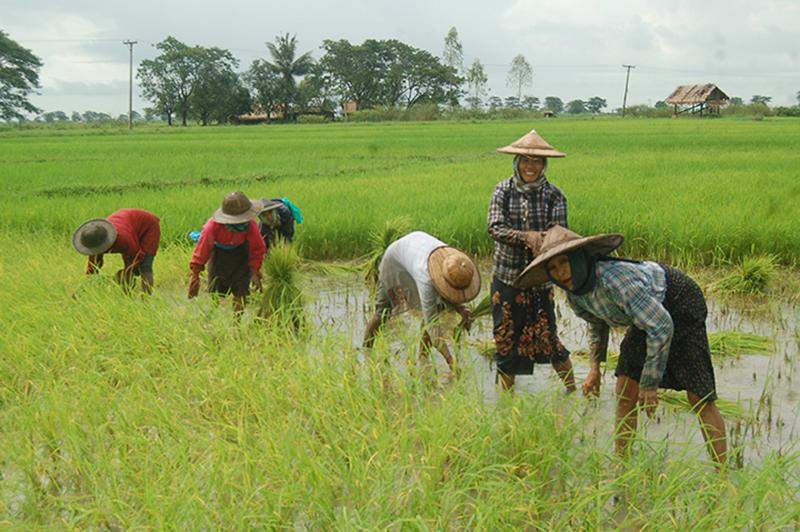 Farmers plant paddy traditionally on a field at Pauktal Village, Bago Region.