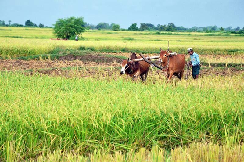 A farmer ploughing traditionally on a field in Padigon, Bago Region.