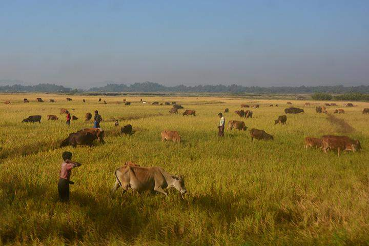Cows are seen feeding on the grass in the paddy fields.