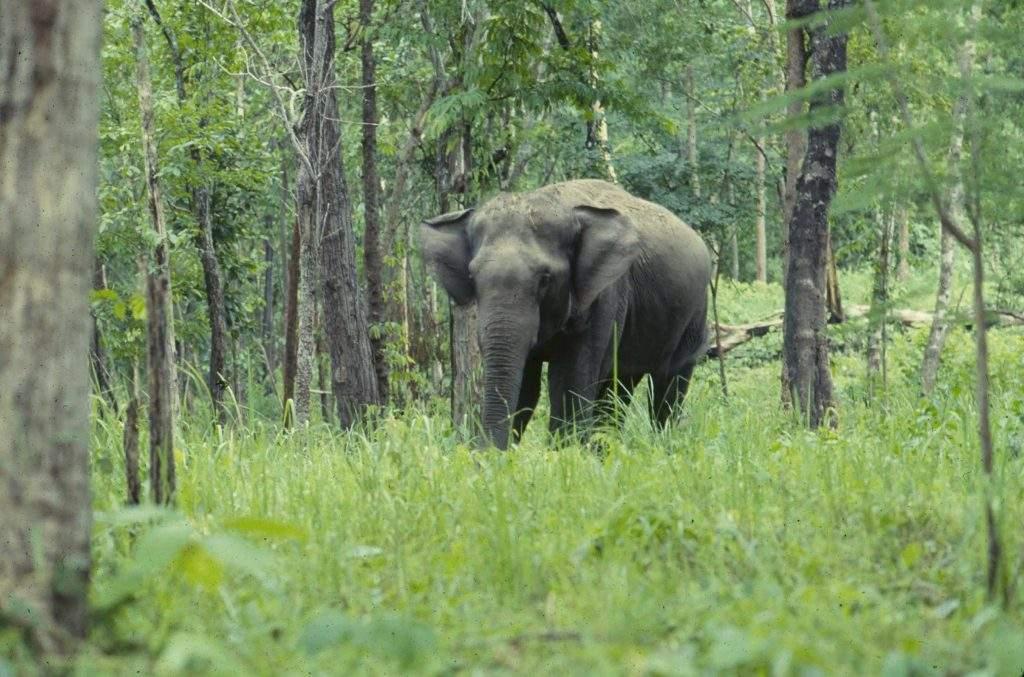 Asian Elephant WCS 72