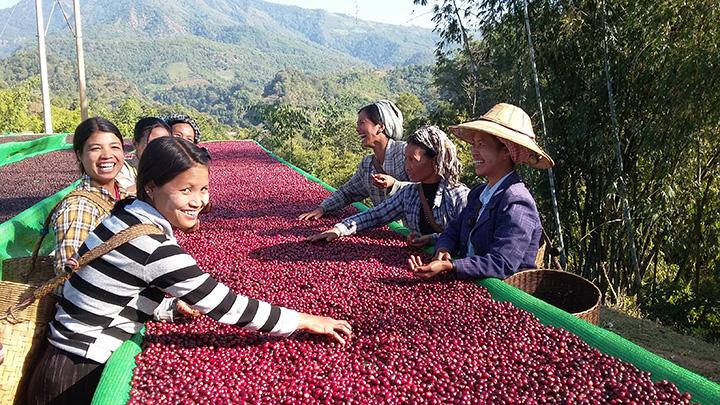 Workers dry coffee beans under the sun in Ywangan Photo Communicaffe International copy