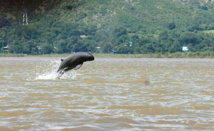An Ayeyawady Dolphin seen jumping out of the water. Photo MCS