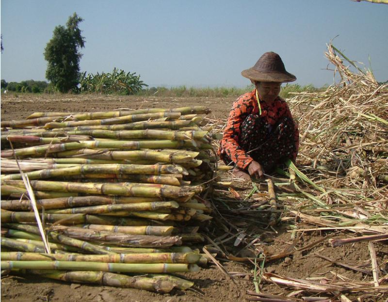 sugarcane1 copy