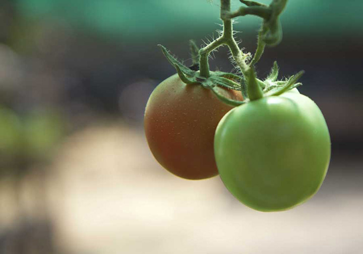 Tomatoes growing in a garden in Myingyan Township Mandalay. Photo Reuters copy