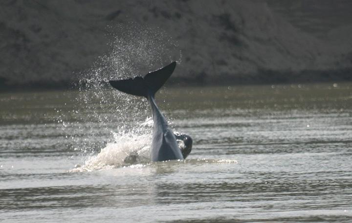 An Ayeyawady Dolphin. Photo WCS copy