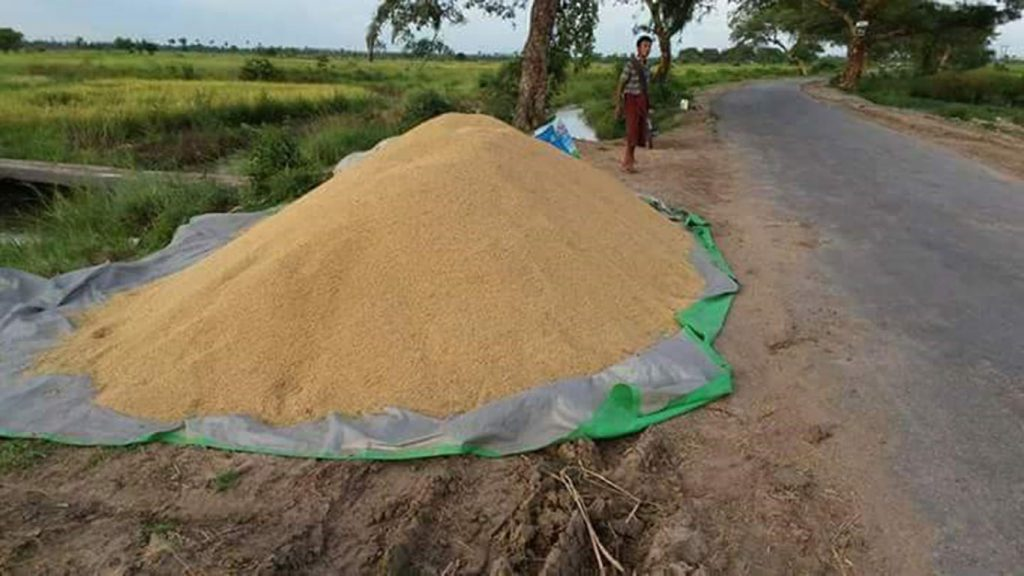 Harvested monsoon rice lying near a paddy field in Shwebo District.  Photo: Taung Ni Tin Win