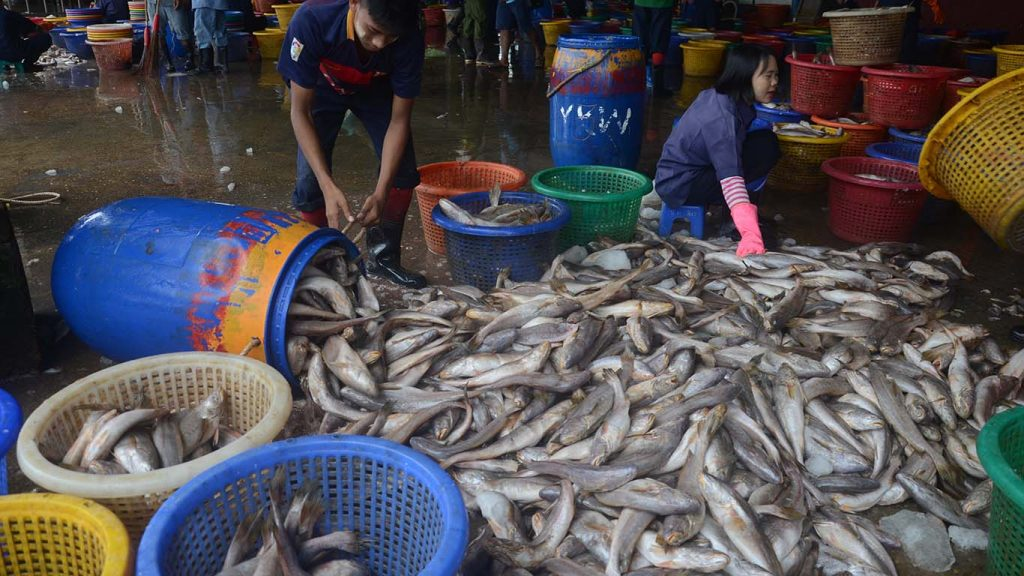 A worker selects fish at the Nyaungtan Jetty in Yangon.Photo: GNLM/Phoe Khwar