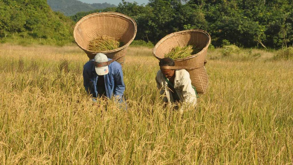 Farmers with woven wicker baskets on their back, harvesting rice in their field.Photo: Nay Lin