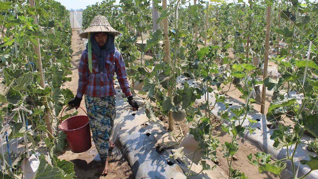 A farmer works in the muskmelon farm in Nay Pyi Taw. Photo: Aye Min Soe