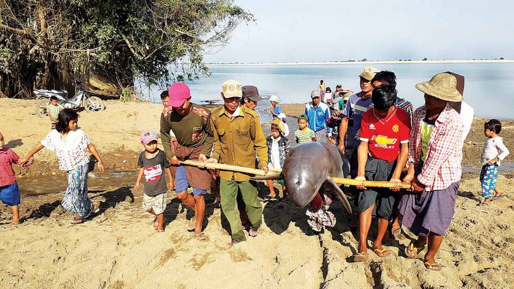 Villagers carry an Ayeyawady Dolphin, found dead in the Ayeyawady River. Photo: WCF
