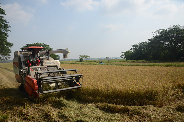 A cultivator reaps paddy in the plantation.