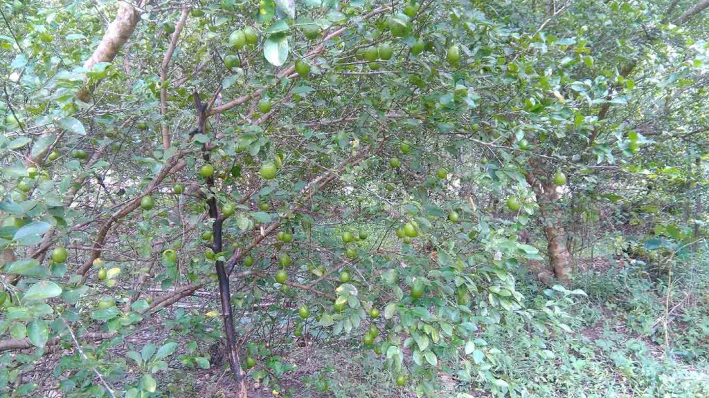 Photo shows lime trees bearing lime fruits.  Photo: Supplied