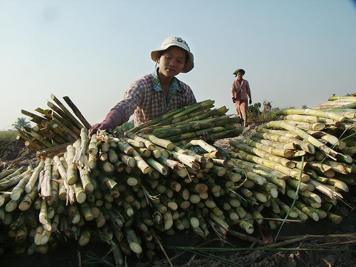 141 copy A farmer prepares to plant sugarcane in a farmland.