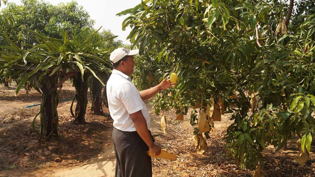Mango stands at the top of the list of exported agricultural products. Four GAP-certified mango plantations in Kanbalu Township.Photo: Aung Win Nyein (Kanbalu)