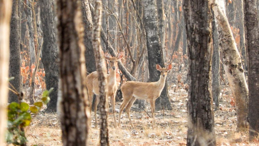 The endangered golden deer species is found in Myanmar, mostly in Chatthin and Shwesattaw Wildlife sanctuaries. Photo: MNA