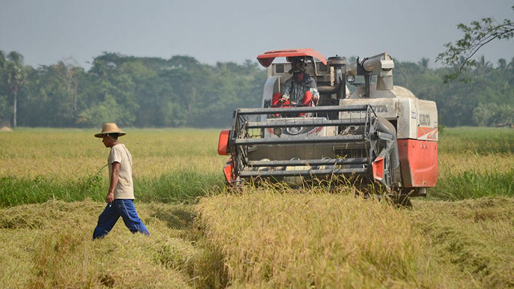A farmer walks past the harvester in a paddy field in Kangyidauk, Ayeyawady.Photo - Phoe Khwar