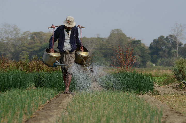 A farmer pours water on the stems of onions in a field in Padigon Township, Bago Region.