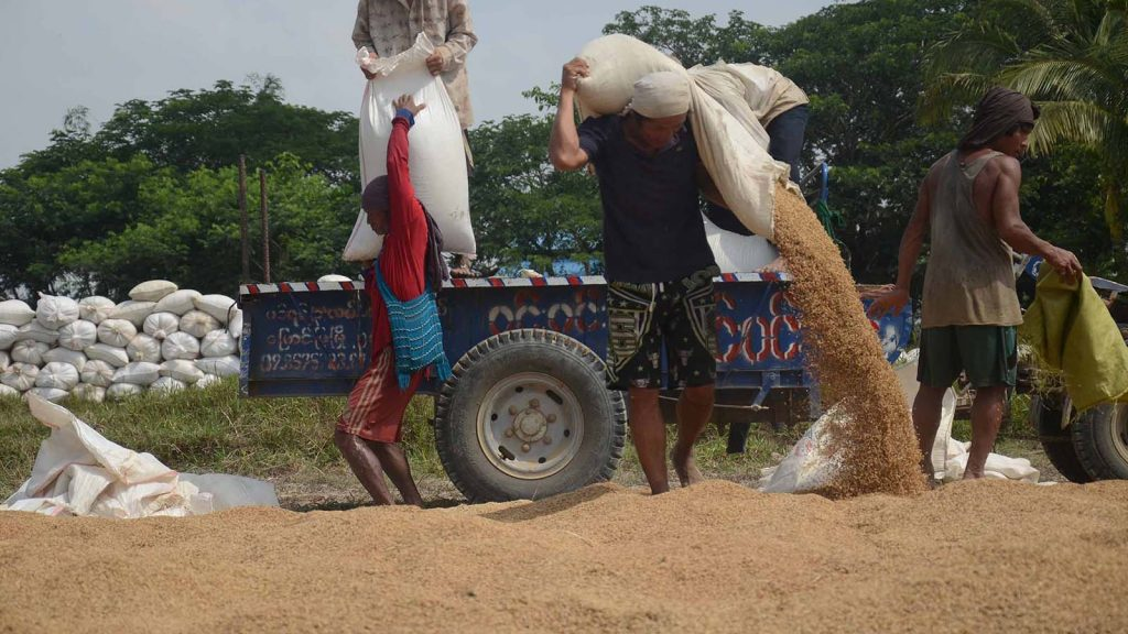 Farmers harvest rice in Kangyidauk in Ayeyawady delta.Photo: Phoe Khwar