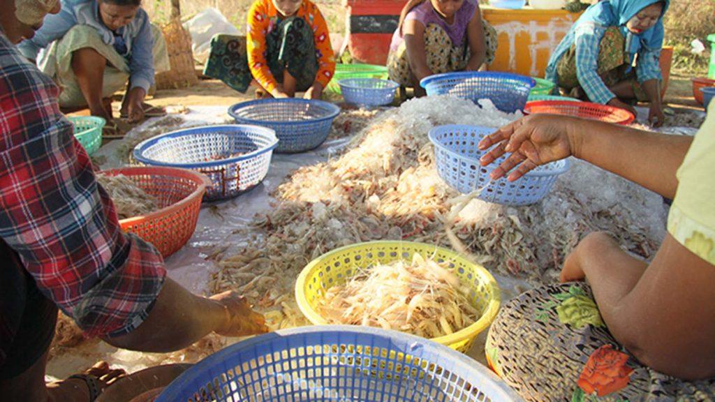 A file photo shows workers select shrimps in Kyauktan,  Yangon Region. Photo: Phoe Khwar