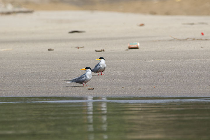 Some 89 river terns researched in 2018