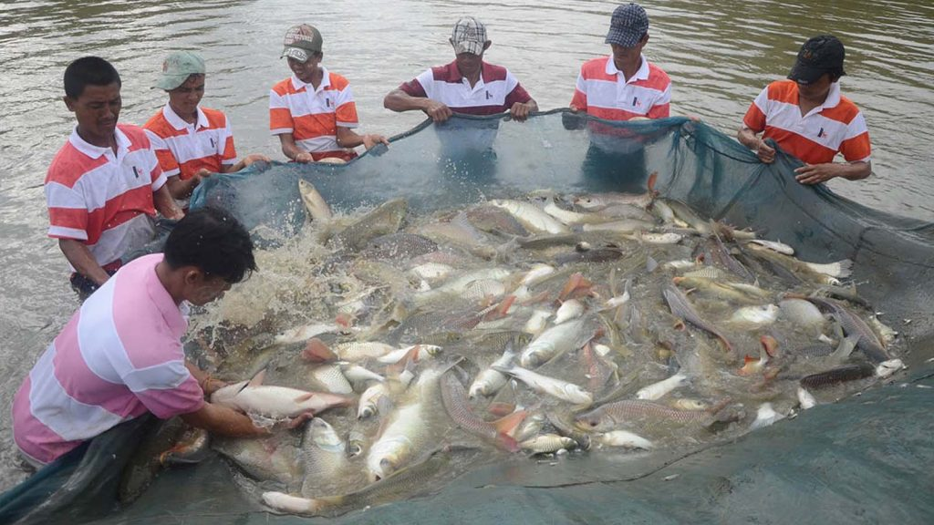 Workers harvest freshwater fish at a farm in Yangon.  Photo:  Supplied