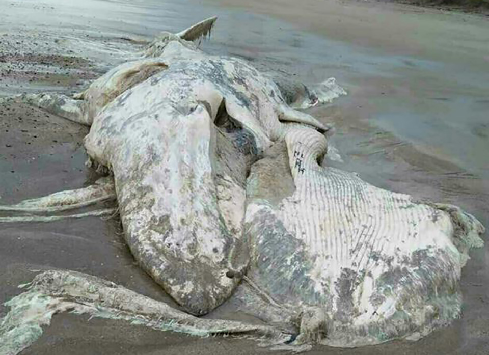 Photo shows the gigantic dead whale on the beach. Photo: MDN