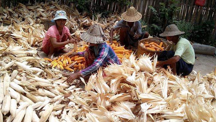 Maize growers in Pobbathiri Township. Photo Shwe Ye Yint copy