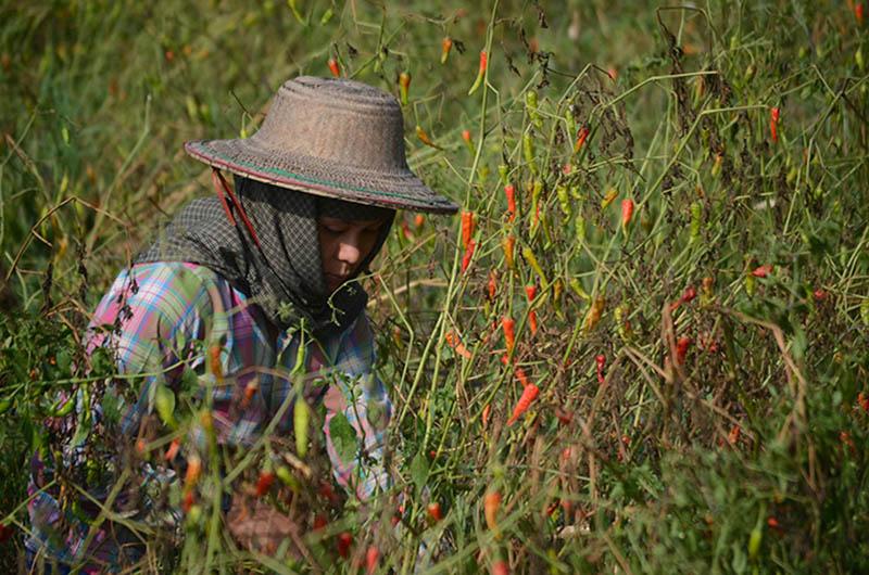 DSC 6004 A farmer harvests chillies at the field in Kangyidauk Ayeyawady Region. Photo Phoe Khwar copy