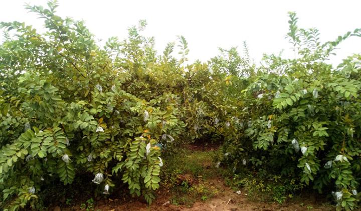 guava 1 copy