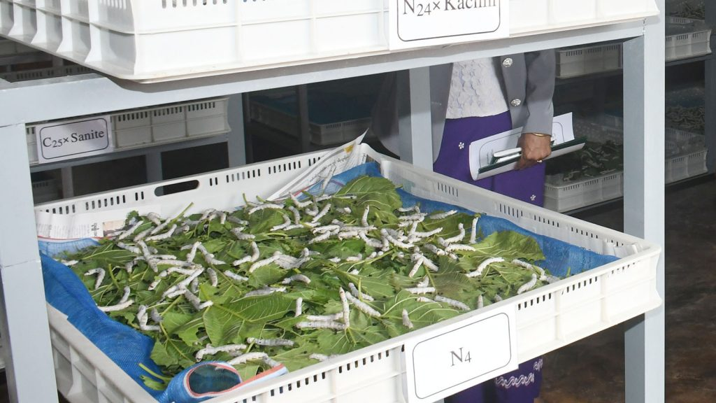 Silkworms surrounded by mulberry leaves on display at the research centre in PyinOoLwin.photo : mna