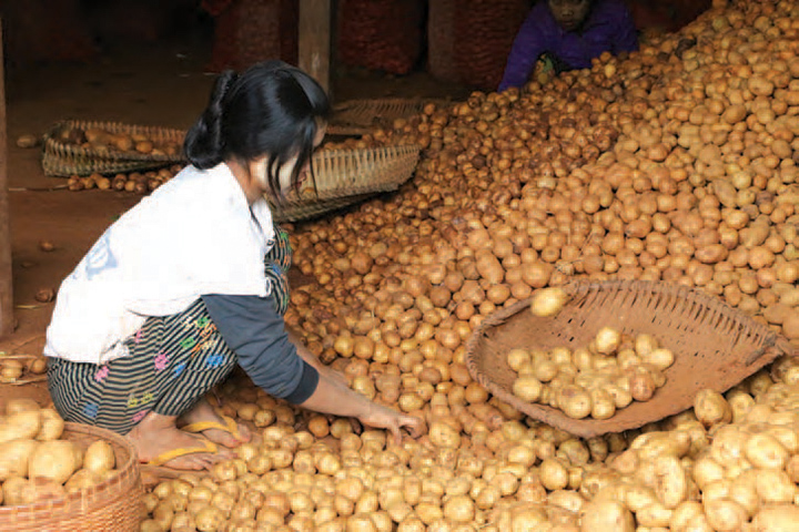 Farm worker sorts potatoes during harvest. Photo: supplied