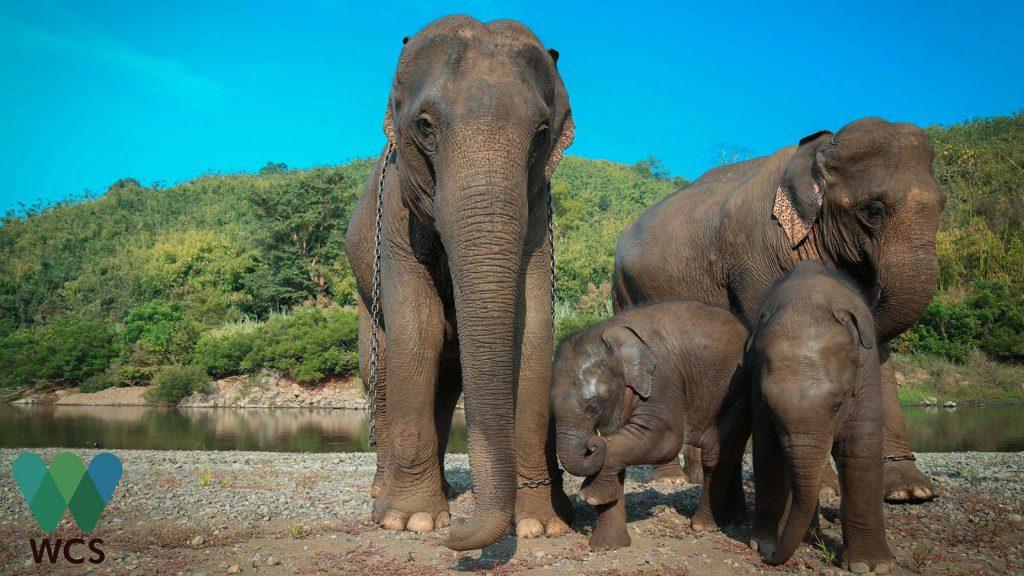 wcs elephant 72