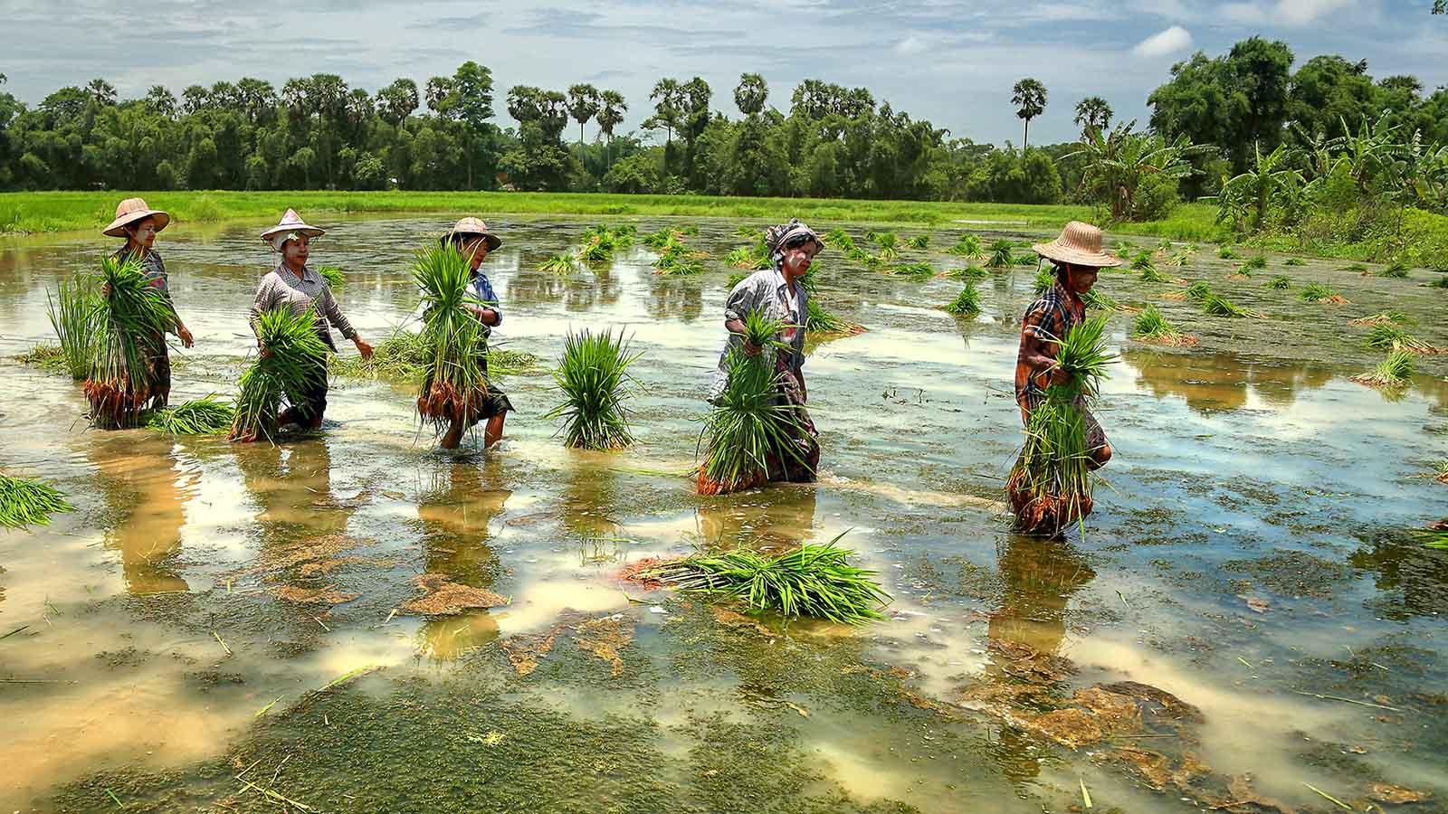 Female farmers carry rice seedlings in Ayeyawady Region. Photo: Thwe Thwe Tun