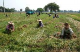 Onion growers hit by low price in Mahlaing Township