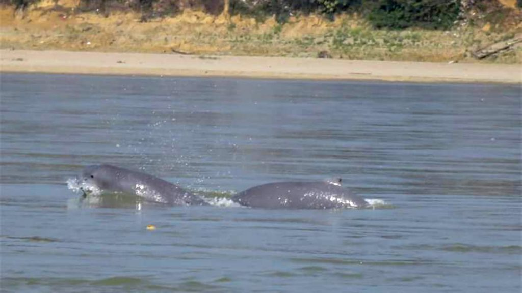 A dolphin spotted by surveyors in the conservation area.  Photo: WCS Myanmar