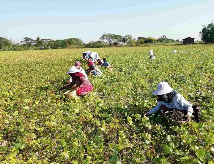 green gram. photoKo Kyaw Thonegwa copy