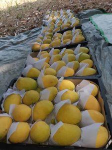 mango in Mandalay. Photo 002