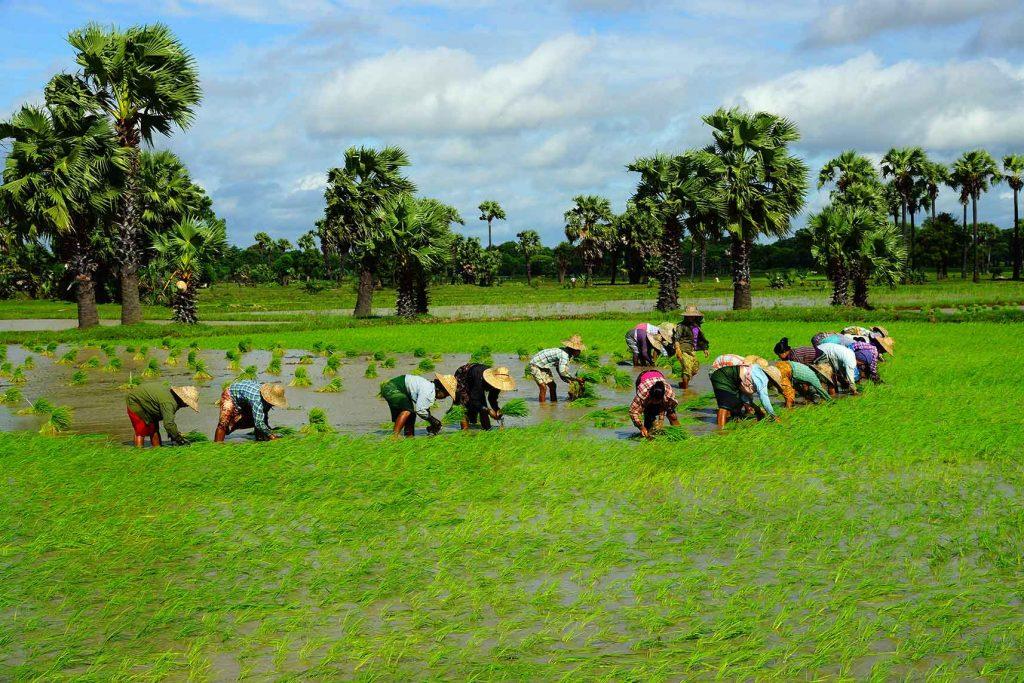 Farmers plant Myanmar's main staple crop — rice. Photo : Chan Tha (meikhtila)