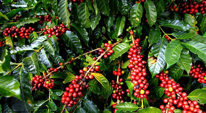 Coffee Plant Entrepreneurs Should Take A Look At Coffee Farming copy