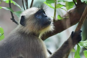 India is home to large family of monkeys species. An endangered langur monkey sitting on tree top.Photo: S. K. BASU