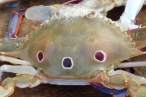 A tiny freshwater crab Amarinus lacustris with three eyes.Photo: S. K. BASU