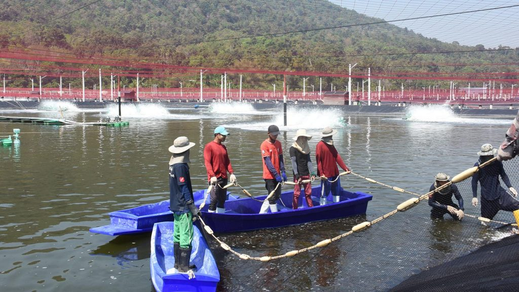 Fish farmers conduct the breeding practices in their farm at Kattalu Village in Kouthoung. Photo: Kyaw Soe (Kouthoung)