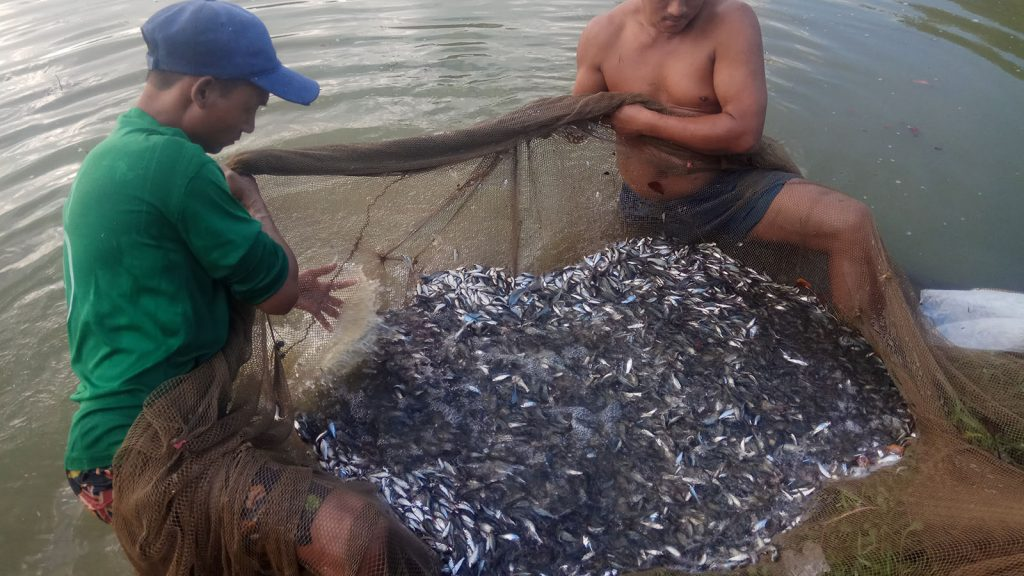 Fishermen catch fishes with net in a breeding pond in Thaton. Photo : Khun (Win Pa)