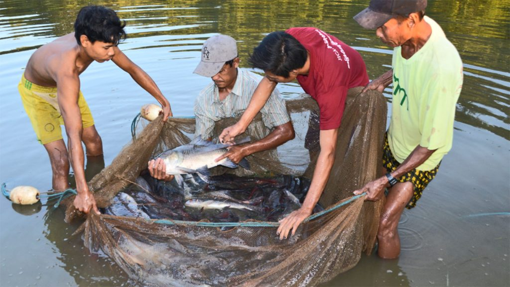 Fishermen catch fishes in the breeding pond.Photo: MNA