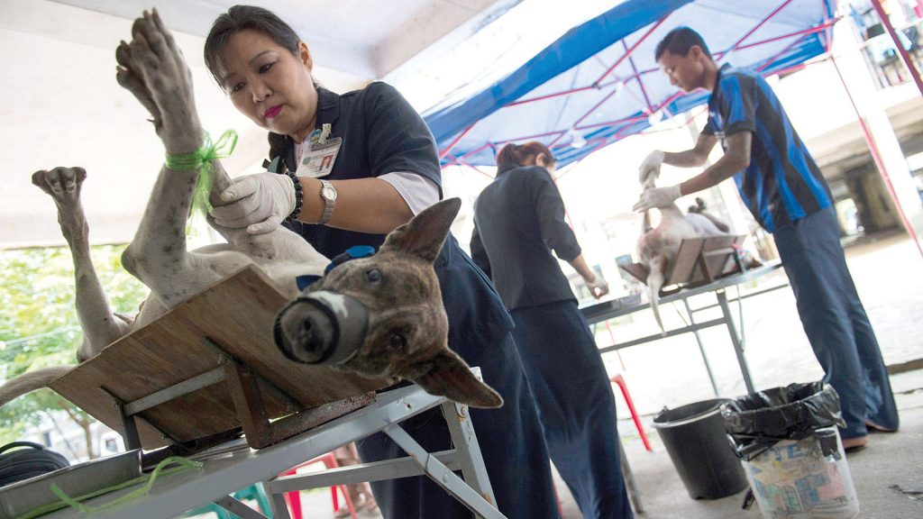 Veterinarians vaccinate and neuter stray dogs in Yangon. Photo: AFP