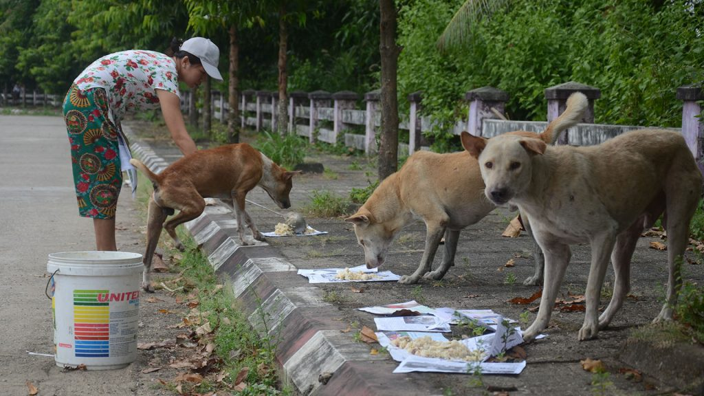 Giving food to stray dogs seen in Yangon.  Photo: Phoe Khwar