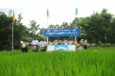Fisheries Dept to release over 300,000 fingerlings into 610 acres of monsoon paddy in Sagaing Region