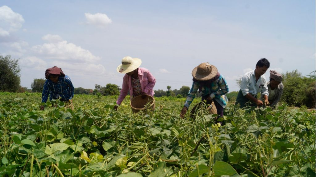 Farmers growing green peas in a farm in Magwe Region. Photo : Soe Lin Naing