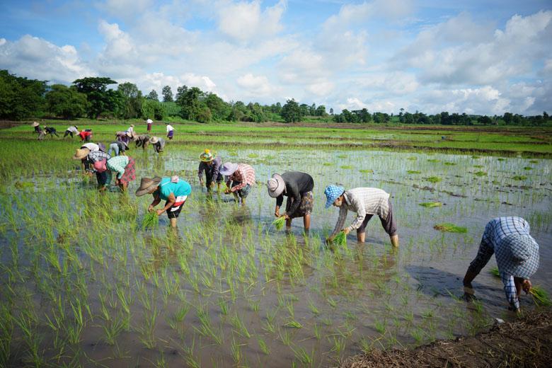 Farmers plant rice in a paddy field in Phaluu Gyi Village, Myawady District, Kayin State.Photo: Tun Tun Oo