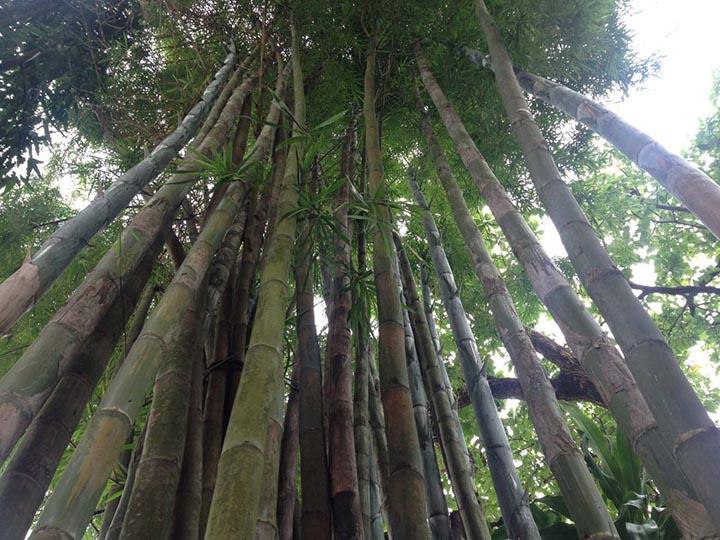 bamboo. Nyi Zaw Moe copy